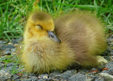Canada goose gosling sleeping on the ground in Maryland during the Spring Stock Photo - 13850916