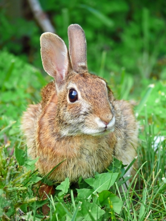 leporidae: Eastern Cottontail rabbit sitting in vegetation in Maryland during the Spring