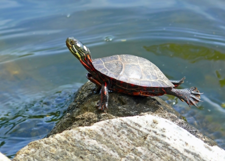 Painted turtle basking in the sun on a rock in Maryland during the Spring