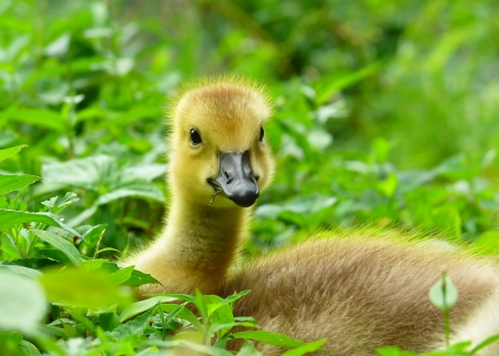 Young Canada goose gosling resting in grass in Maryland during the Spring Stock Photo - 13866735