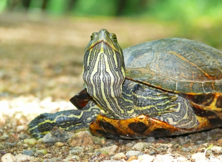 Detailed face and neck of a Red-eared Slider pond turtle in Maryland during the Spring photo