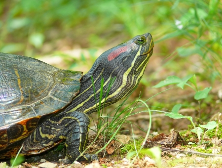 Detailed face of a Red-eared Slider pond turtle in Maryland during the Spring photo