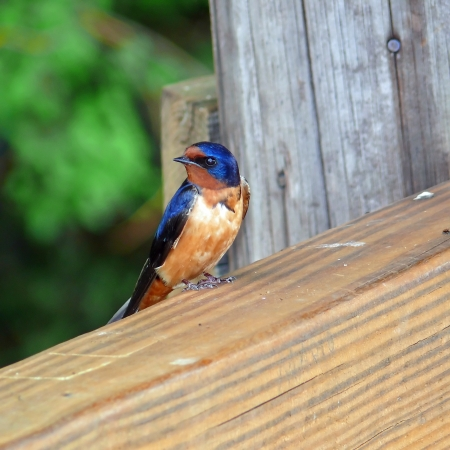 Barn Swallow perching on a fence in Maryland during the Spring photo