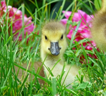 Young Canada goose gosling resting in vegetation in Maryland during the Spring Stock Photo - 13906621