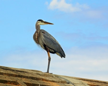 ardeidae: Great Blue Heron standing on the top of a dam in Maryland
