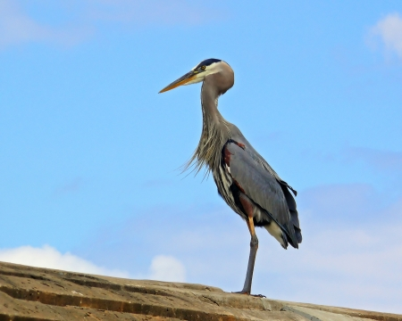 Great Blue Heron standing on the top of a dam in Maryland photo