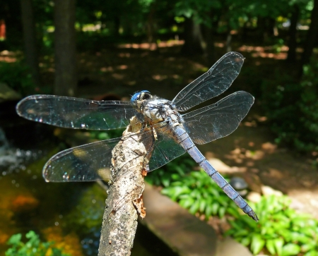 odonatology: Back and wings of a male Blue Dasher dragonfly by a pond in Maryland Stock Photo