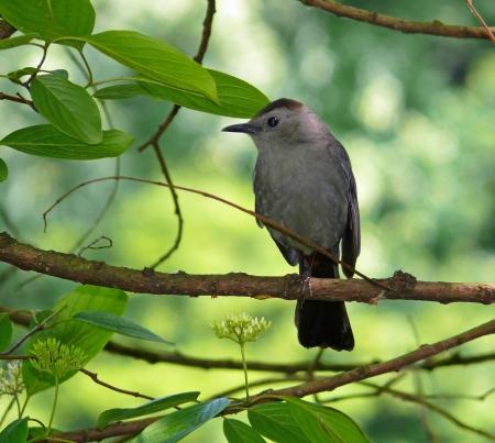 catbird: Gray Catbird perching in a tree in Maryland Stock Photo