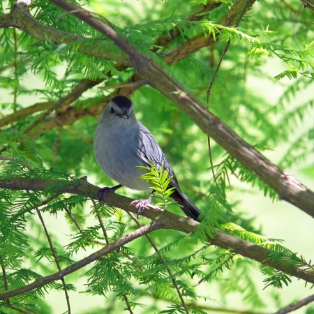 catbird: Gray Catbird perching in a tree in Maryland Stock Photo