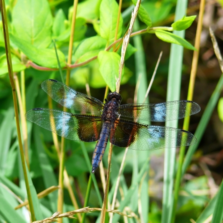 pruinescence: Male Widow Skimmer dragonfly resting on vegetation in Maryland during the summer