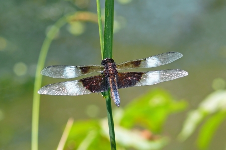 odonatology: Male Widow Skimmer dragonfly resting on vegetation in Maryland during the summer