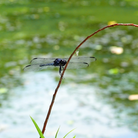 Male Slaty Skimmer dragonfly resting on a twig in Maryland during the summer