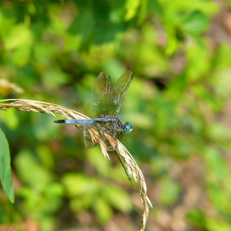 pruinose: Blue Dasher dragonfly sitting on a wild grass stem in Maryland