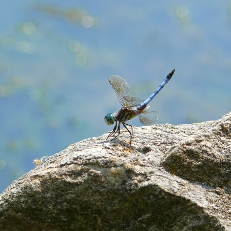 odonatology: Blue Dasher dragonfly sitting on a rock in Maryland