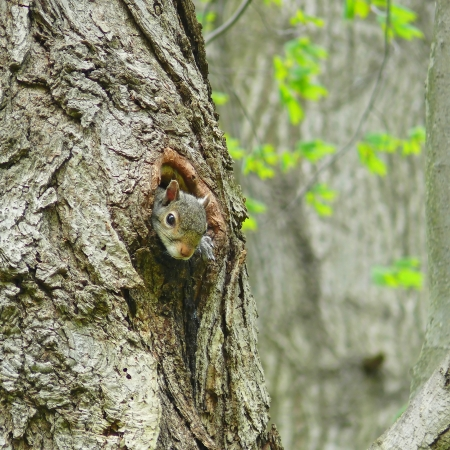 Eastern grey squirrel peeking out of a nest hole in Maryland Stock Photo