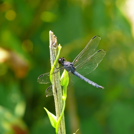 pruinose: Male Slaty Skimmer dragonfly resting on a twig in Maryland during the summer
