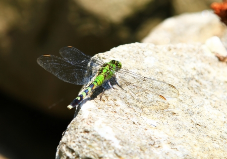 erythemis: Female Eastern Pondhawk dragonfly resting on a rock in Maryland during the summer