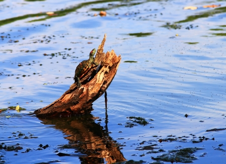 Young Red-Eared Slider pond turtle basking in the evening sun on a log in Maryland photo