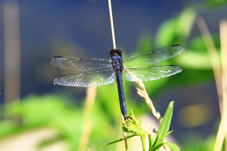 Male Slaty Skimmer dragonfly resting on a twig in Maryland during the summer photo