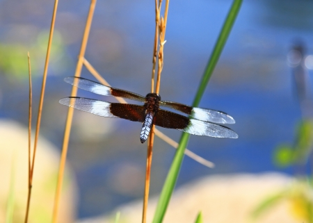 pruinescence: Male Widow Skimmer dragonfly resting on a wild grass stem in Maryland during the summer