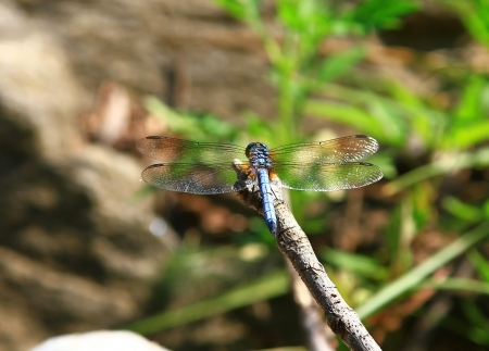 translucense: Blue Dasher dragonfly resting on a twig in Maryland during the summer