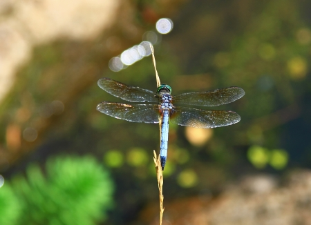 translucense: Blue Dasher dragonfly resting on a wild grass stem in Maryland during the summer Stock Photo