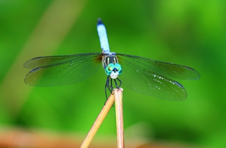 translucense: Front view of a Blue Dasher dragonfly resting on a plant stem in Maryland during the summer
