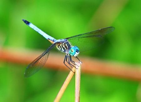 Angled view of a Blue Dasher dragonfly resting on a plant stem in Maryland during the summer photo