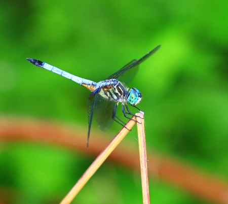 translucense: Side view of a Blue Dasher dragonfly resting on a plant stem in Maryland during the summer