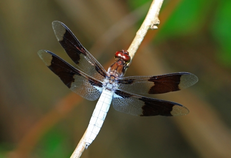 Macro of a male Common Whitetail dragonfly resting on a twig in Maryland during the summer Stock Photo