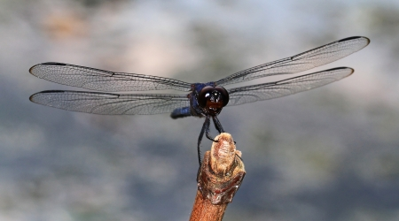 pruinescence: Macro of a male Slaty Skimmer dragonfly sitting on a twig in Maryland during the summer