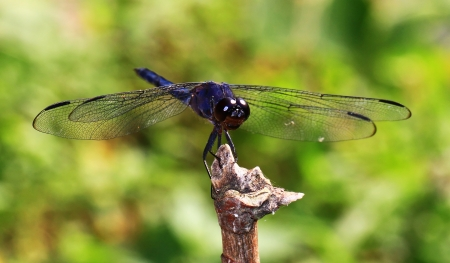 Macro of a male Slaty Skimmer dragonfly sitting on a twig in Maryland during the summer