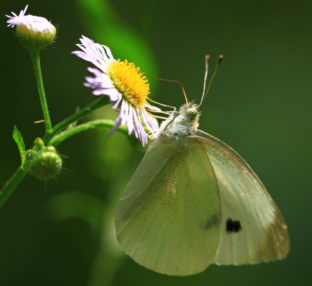 shady: Cabbage White butterfly feeding on a daisy in shady woodland in Maryland during the summer