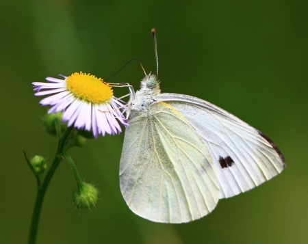 Cabbage White butterfly feeding on a daisy in Maryland during the summer photo