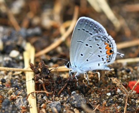 Eastern Tailed Blue butterfly feeding on minerals in wet mud in Maryland during the summer Stock Photo - 14266659