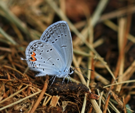 compound eyes: Eastern Tailed Blue butterfly feeding on minerals in wet mud in Maryland during the summer