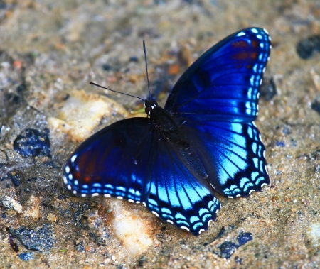 blue butterfly: Red Spotted Purple butterfly feeding on minerals in wet mud in Maryland during the summer