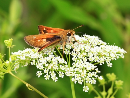pecks: Pecks Skipper butterfly feeding on Cow Parsley in Maryland during the Summer