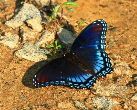Red Spotted Purple butterfly feeding on minerals in wet mud in Maryland during the summer photo