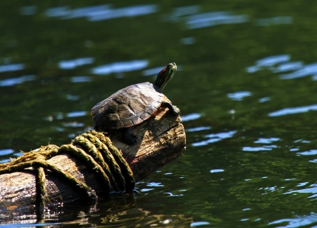 Red-Eared Slider pond turtle basking in the evening sun on a log in Maryland photo