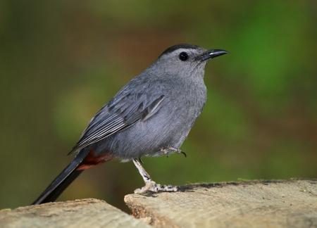 gray catbird: Gray Catbird resting on one leg on a tree stump in dense woodland in Maryland Stock Photo