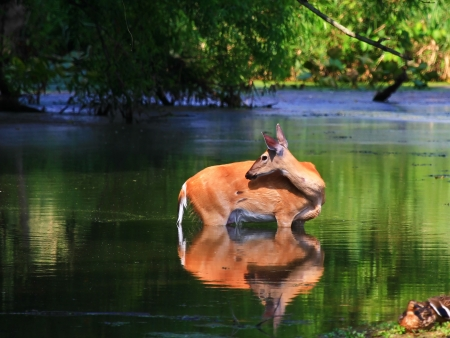 White tailed deer doe standing in a lake in Maryland during the summer