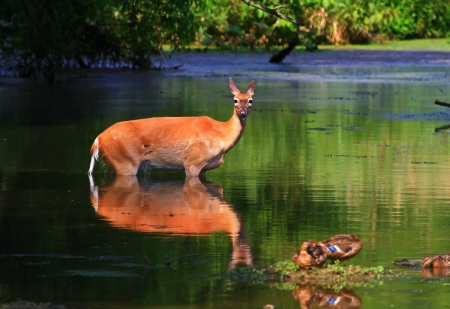 white tailed deer: White tailed deer doe standing in a lake in Maryland during the summer