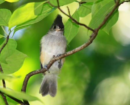 Young Tufted Titmouse fledgling perching in a tree in Maryland during the summer photo