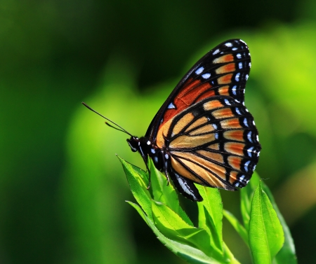 Viceroy butterfly resting on wildflowers and vegetation in Maryland during the summer Stock Photo