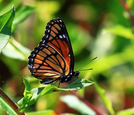 Viceroy butterfly resting on wildflowers and vegetation in Maryland during the summer photo