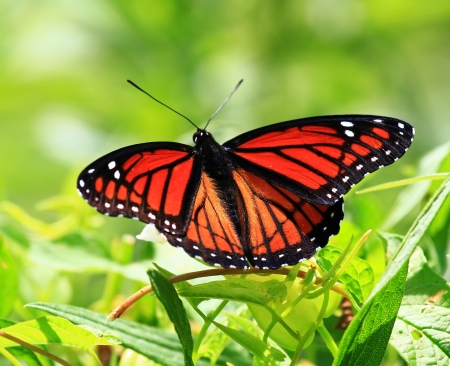 viceroy: Viceroy butterfly resting on wildflowers and vegetation in Maryland during the summer Stock Photo