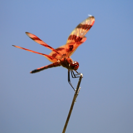 Halloween Pennant dragonfly perching on a twig in Maryland during the summer