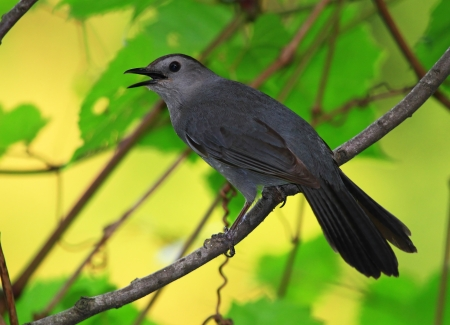 gray catbird: Gray Catbird perching on a twig in Maryland during the summer