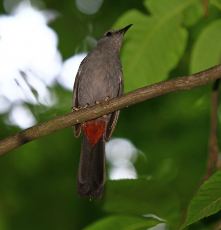catbird: Gray Catbird perching in a tree in Maryland during the summer